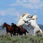 Horses Fighting - 1.jpg